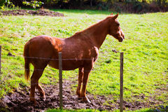 Brown horse near fence in Navarra meadow near Pyrenees Stock Image