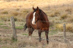 Brown horse near fence- Tharwa, ACT Stock Images