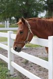 Brown Horse Near White Fence. On a Ranch Royalty Free Stock Photos