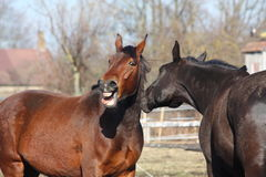 Brown horse neighing and black horse standing near Stock Images
