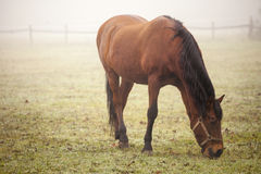 Brown horse. One horse gazing in the meadow during a misty winter morning stock images