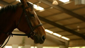 Brown horse in paddock stock footage