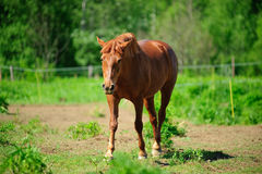 Brown horse in pasture Royalty Free Stock Photography