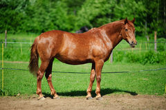 Brown horse in pasture Royalty Free Stock Photo