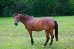 Brown Horse in Pasture Royalty Free Stock Photos