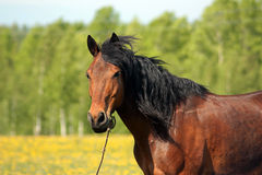 The brown horse on a pasture Stock Photography
