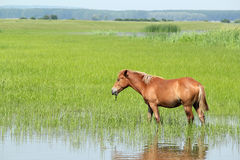 Brown horse in pasture Royalty Free Stock Images