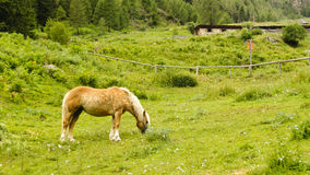 Brown horse in a pasture royalty free stock photography