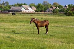 Brown horse on a pasture Royalty Free Stock Images