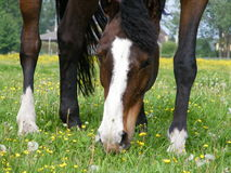 Brown horse at the pasture. Brown horse eating grass at the pasture with small yellow flowers in summer Royalty Free Stock Photos