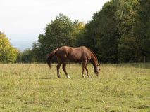 Brown horse on pasture Royalty Free Stock Photo