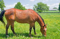Brown horse in pasture. A view of a brown or chestnut horse grazing in a farm field or pasture on a spring day Stock Images