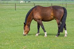 Brown horse on pasture Royalty Free Stock Image