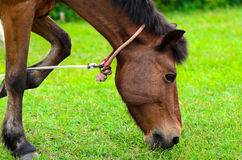 Brown horse on pasture. Royalty Free Stock Photography
