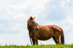 Brown horse on pasture. Royalty Free Stock Images