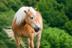 Brown Horse on Pasture with Head Held High Royalty Free Stock Photo