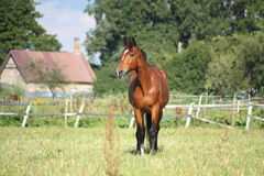 Brown horse at the pasture Stock Photos