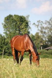 Brown horse at the pasture Royalty Free Stock Images