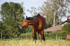 Brown horse at the pasture Stock Photography