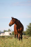 Brown horse at the pasture Stock Photo