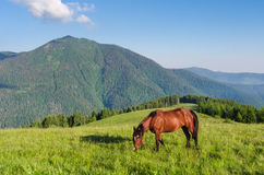 Brown horse in a pasture in mountains. Summer landscape on sunny Stock Photos