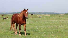 Brown horse on pasture stock video footage