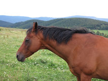 Brown horse on pasture Stock Images