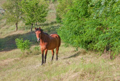Brown horse on pasture Royalty Free Stock Photos