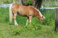 Brown horse in a pasture Stock Image