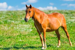 Brown horse in a pasture Stock Photography