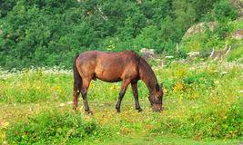 Brown Horse pastured on Green Valley Stock Photography