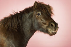 Brown Horse On Pink Background Stock Photography