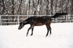 The brown horse is playing and floundering in the snow at background of monochrome winter landscape Stock Photos
