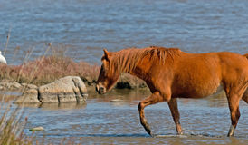 Horse in the pond Royalty Free Stock Photo
