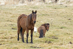 Brown Horse And Pony in Grass Field Royalty Free Stock Images