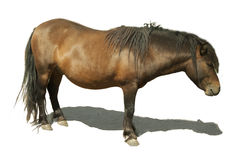 Brown horse pony with shadow. On a white background Stock Photography