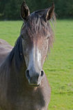 Brown horse portrait Royalty Free Stock Image