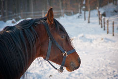 Brown horse portrait Stock Photos