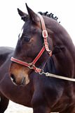 Brown horse portrait Royalty Free Stock Photography