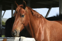 Brown horse portrait Stock Image