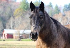 Brown Horse. Portrait of a horse with a barn in the background Royalty Free Stock Photo