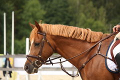 Brown horse portrait with bridle Stock Images