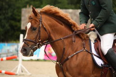 Brown horse portrait with bridle Stock Photography