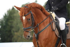 Brown horse portrait with bridle Royalty Free Stock Photography