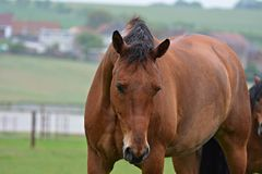 Brown horse portrait. Brown horse portrait in nature royalty free stock image