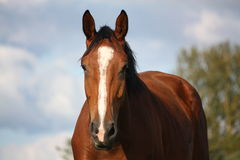 Brown horse portrait at the field in summer Stock Photos
