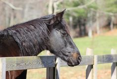 Brown Horse. Portrait of a brown horse with his head over a fence Royalty Free Stock Photos