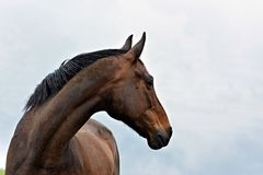 Brown horse portrait. Brown horse portrait in nature stock images