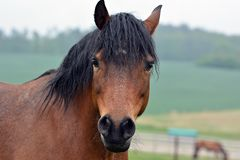 Brown horse portrait. stock image