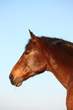Brown horse portrait in rural area Royalty Free Stock Photo
